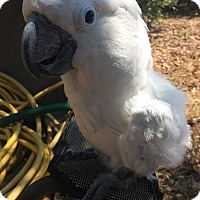 Adopt A Pet :: Tuco - Burleson, TX