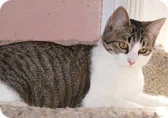 Domestic Shorthair Cat for adoption in Buhl, Idaho - Cynthia