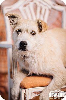 Wheaten Terrier Mix Dog for adoption in Portland, Oregon - Rosie