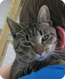 Domestic Shorthair Cat for adoption in Aiken, South Carolina - CHARLIE