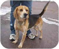 Beagle Mix Dog for adoption in Honesdale, Pennsylvania - Clause