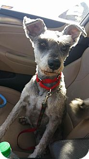 Schnauzer (Miniature) Mix Dog for adoption in Phoenix, Arizona - Judy