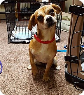 King Charles Spaniel/Dachshund Mix Puppy for adoption in New Oxford, Pennsylvania - Tinkerbell