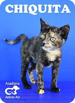 Domestic Shorthair Kitten for adoption in Carencro, Louisiana - Chiquita