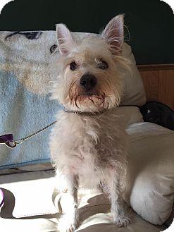 Westie, West Highland White Terrier/Poodle (Miniature) Mix Dog for adoption in Maryville, Missouri - Cracker