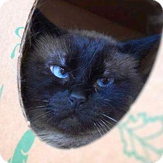 Siamese Cat for adoption in Denver, Colorado - Lotus