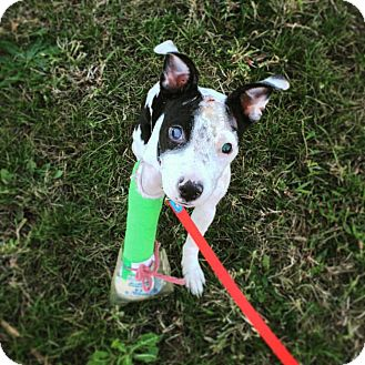 Pointer Mix Puppy for adoption in Chicago, Illinois - Emmaline