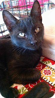 Domestic Shorthair Kitten for adoption in Fischer, Texas - Niles