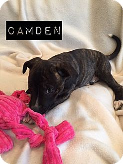 Labrador Retriever/Boxer Mix Puppy for adoption in Atlanta, Georgia - Camden