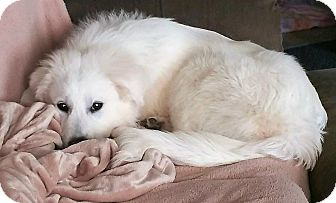Great Pyrenees Dog for adoption in Kyle, Texas - Bowie