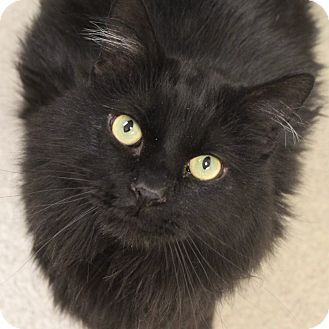 Domestic Longhair Cat for adoption in Naperville, Illinois - Mr. Fantastic