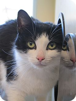 Domestic Shorthair Cat for adoption in Morristown, New Jersey - Molly
