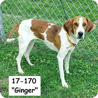 Coonhound (Unknown Type) Mix Dog for adoption in Cannelton, Indiana - Ginger