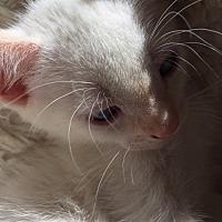 Adopt A Pet :: Nico - Columbia, SC