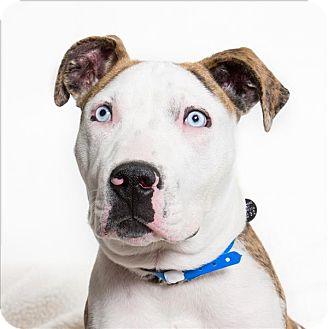 American Pit Bull Terrier Mix Dog for adoption in San Luis Obispo, California - Junior