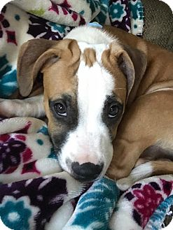 Pit Bull Terrier Mix Puppy for adoption in Baltimore, Maryland - Chucky Bean