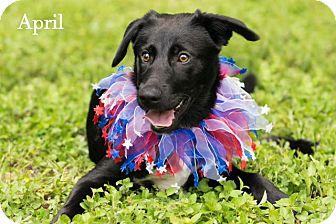 Border Collie/Labrador Retriever Mix Puppy for adoption in Boston, Massachusetts - April