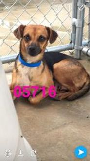 Chihuahua Mix Dog for adoption in Kiln, Mississippi - PHOEBE