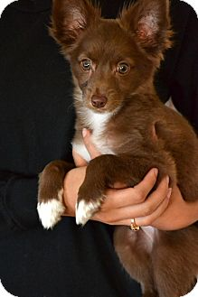 Chihuahua Mix Puppy for adoption in Okeechobee, Florida - Chickie