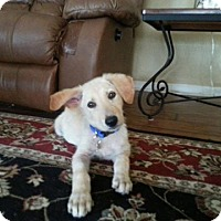 Adopt A Pet :: Indy (adoption pending) - Morrisville, NC