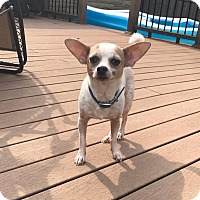Adopt A Pet :: Pedro - Indianapolis, IN