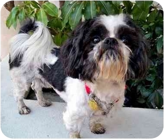 Shih Tzu Dog for adoption in Los Angeles, California - PHINEAS
