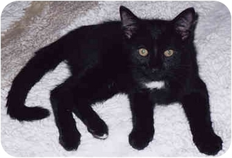 Domestic Shorthair Kitten for adoption in Owatonna, Minnesota - Andy