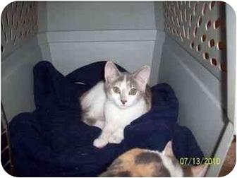 Manx Kitten for adoption in Delmont, Pennsylvania - Chloe n Starr