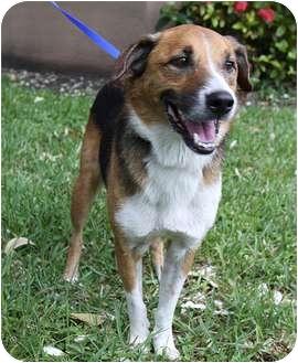 Shepherd (Unknown Type)/Beagle Mix Dog for adoption in Ocean Ridge, Florida - Barney