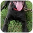 Photo 1 - Mastiff/Labrador Retriever Mix Puppy for adoption in Struthers, Ohio - Magic