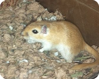 Gerbil for adoption in Grand Rapids, Michigan - Mable