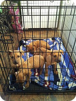 American Pit Bull Terrier/German Shepherd Dog Mix Puppy for adoption in Roaring Spring, Pennsylvania - Litter #2