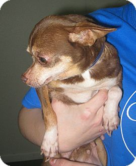Chihuahua Dog for adoption in Prole, Iowa - Delilah
