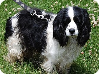 Cocker Spaniel Dog for adoption in North Judson, Indiana - Champ