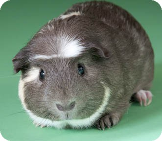 Guinea Pig for adoption in Chicago, Illinois - S'Mores