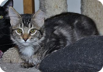 Domestic Mediumhair Kitten for adoption in Ogden, Utah - Shashi