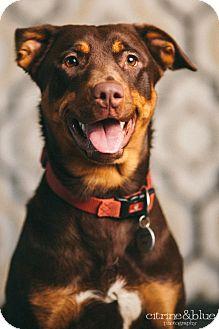 Labrador Retriever/Doberman Pinscher Mix Dog for adoption in Portland, Oregon - Tia