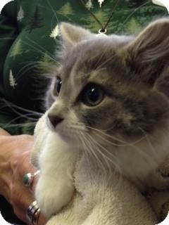Domestic Mediumhair Kitten for adoption in Divide, Colorado - Griffon