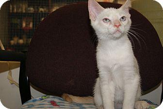 Domestic Shorthair Kitten for adoption in Trevose, Pennsylvania - Cashew