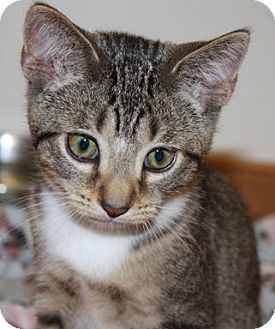 Domestic Shorthair Kitten for adoption in Washburn, Wisconsin - Cappuccino