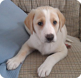 Labrador Retriever Mix Puppy for adoption in St. Charles, Illinois - Hunter