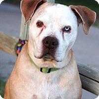 Adopt A Pet :: Stranger - Gilbert, AZ