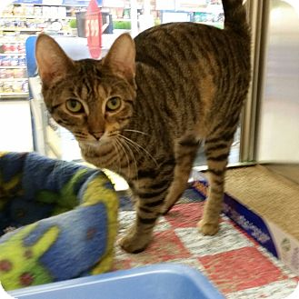 Domestic Shorthair Cat for adoption in East Hartford, Connecticut - Clara in CT