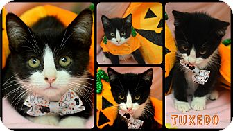 Domestic Shorthair Kitten for adoption in Petersburg, Virginia - Tuxedo