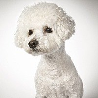 Bichon Frise Dog for adoption in New York, New York - Gerard