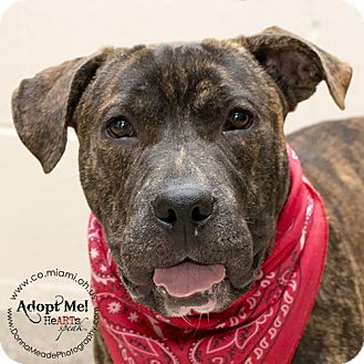 Pit Bull Terrier/Shar Pei Mix Dog for adoption in Troy, Ohio - Ace