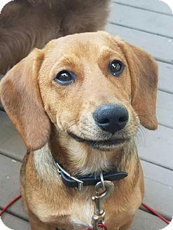 Beagle Mix Puppy for adoption in Schaumburg, Illinois - Jordan-adoption pending
