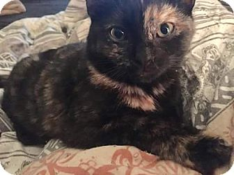 Domestic Shorthair Kitten for adoption in Weatherford, Texas - Cola