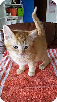 Domestic Shorthair Kitten for adoption in Danville, Indiana - Nutmeg