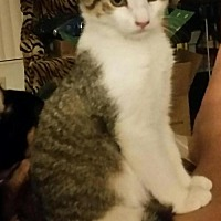 Domestic Shorthair Kitten for adoption in Boynton Beach, Florida - Oscar